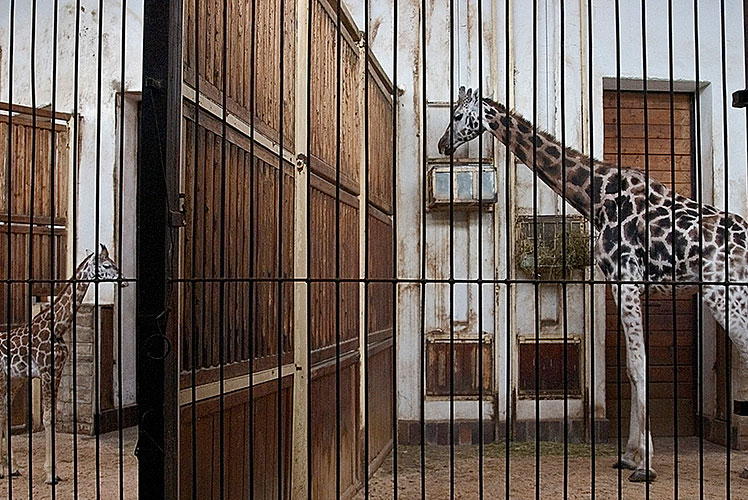 giraffe-contrast-copy