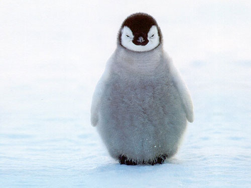 penguin penguins cat fat animal animals funny photoshop kitten hanks tom punch pinguin emperor ペンギン ice antarctica cold arctic head