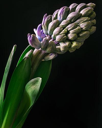 hyacinth-II