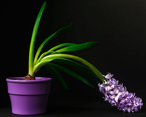 hyacinth-III