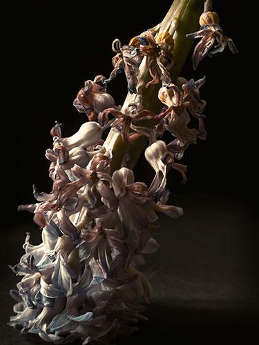 hyacinth-IIII