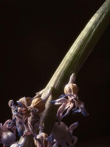 hyacinth-IV