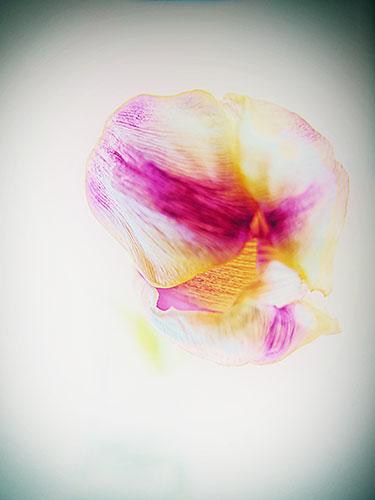 Tulip-Soft-Focus
