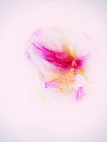 Tulip-Soft-Focused3