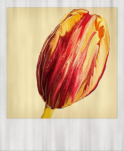 tulip-sx70-manipulation-frame