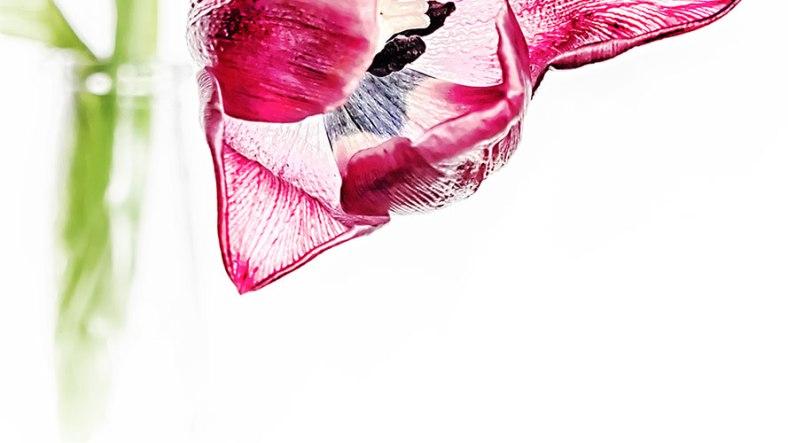 tulip-hdr-soft-focus-header