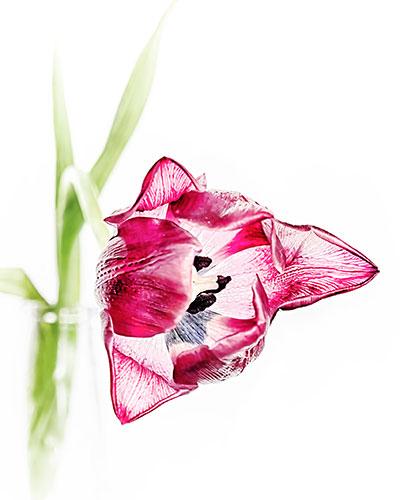 tulip-hdr-soft-focus