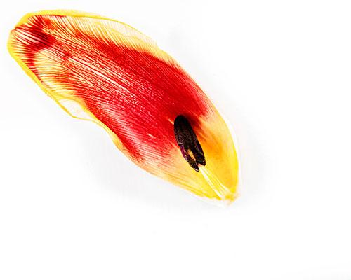 Tulip-leaf