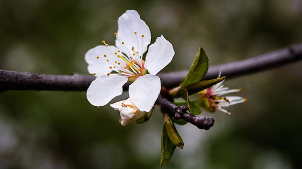 blossom-on-branch