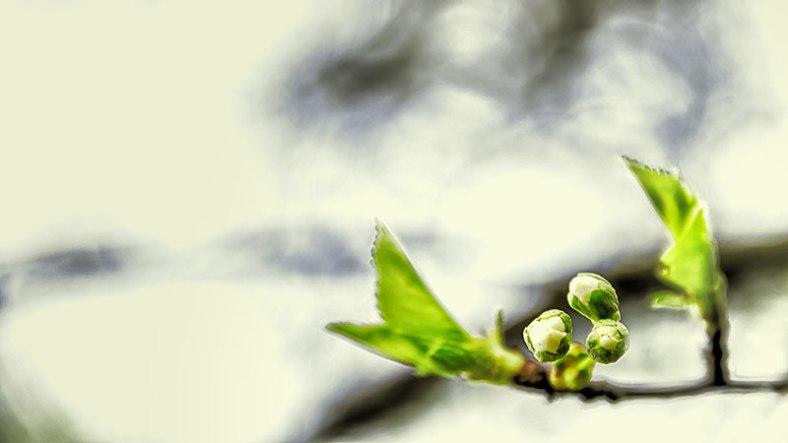budding-blossom-pano