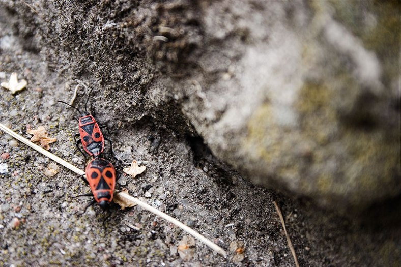 red-and-black-bugs