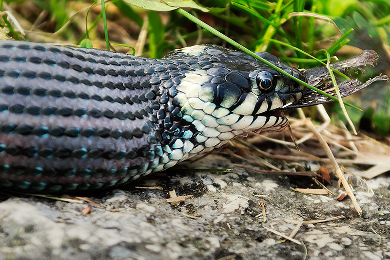 In camera raw or in camera that is the question aperture64 for Snake eating fish