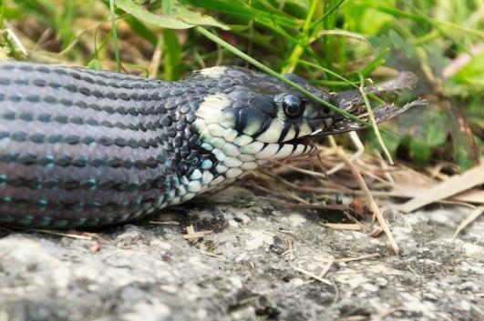 snake-raw-ACR