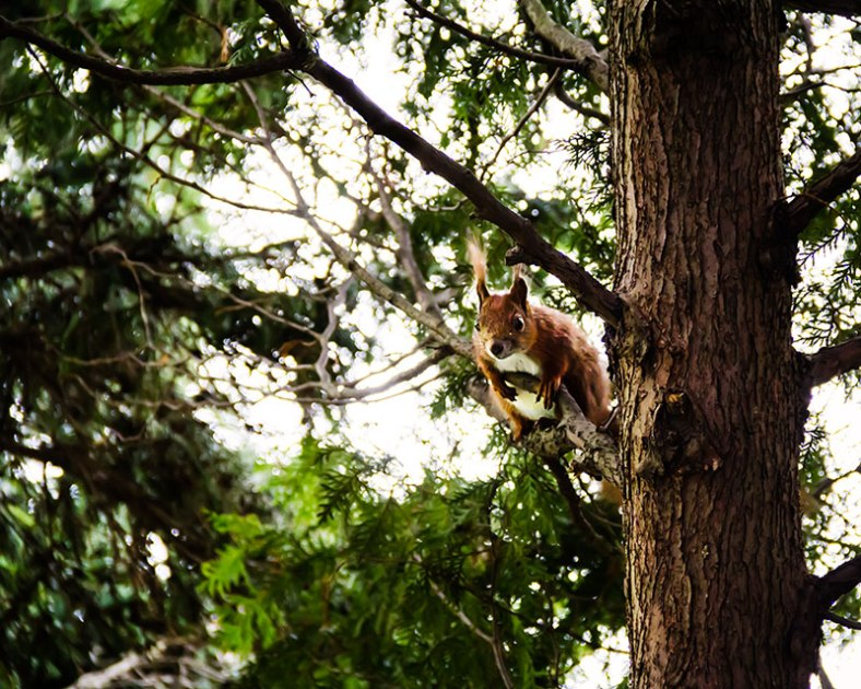 Squirrel-under-the-canopy