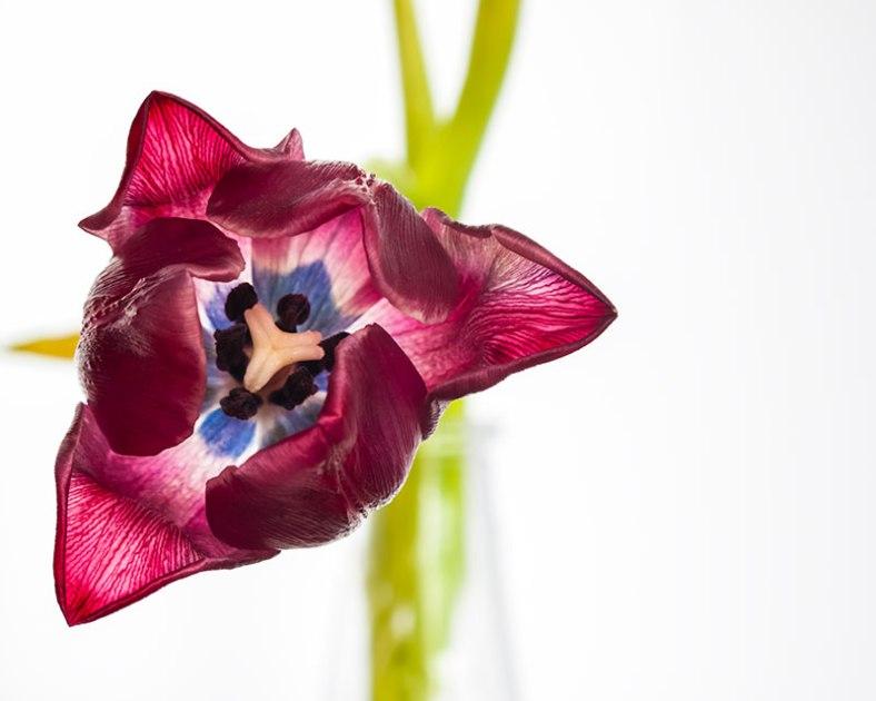 tulip-pre