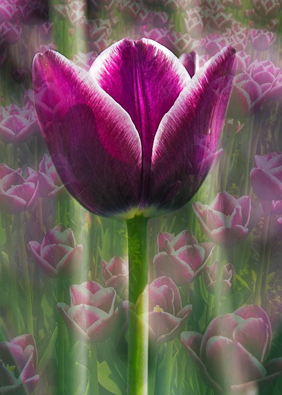 Tulip-purple-double-exposure