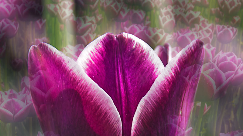 Tulip-purple-double-exposure