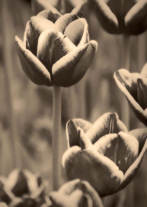 tulip-topaz-bw