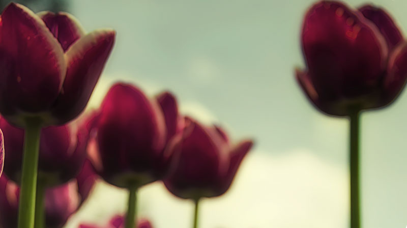 Tulips-looking-up-at-an-angle-header