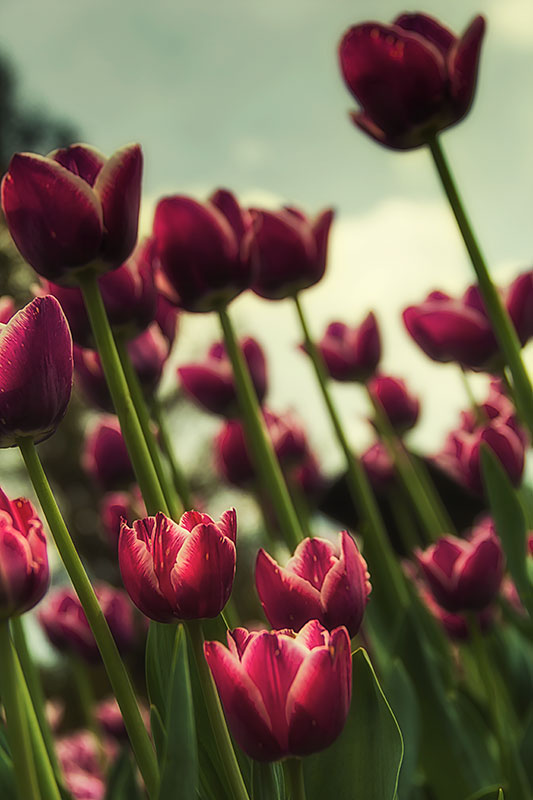 Tulips-looking-up-at-an-angle
