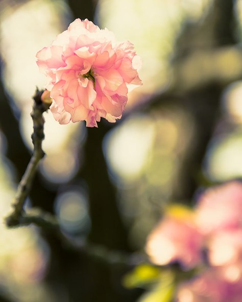 blossom-Pink-cross-processed