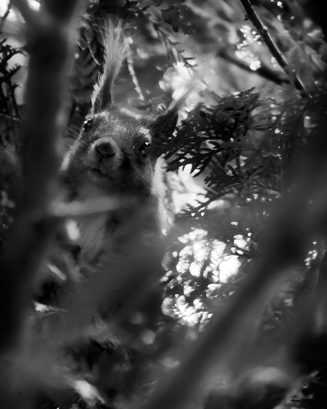 squeral-bw-in-a-tree