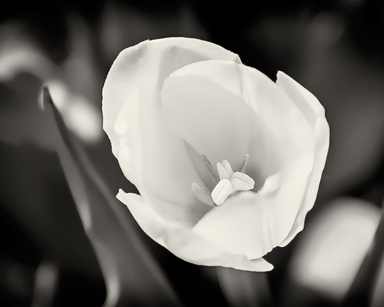Tulip-BW