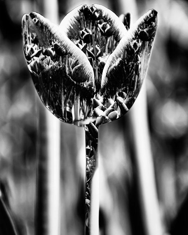 tulip-double-exposure-bw