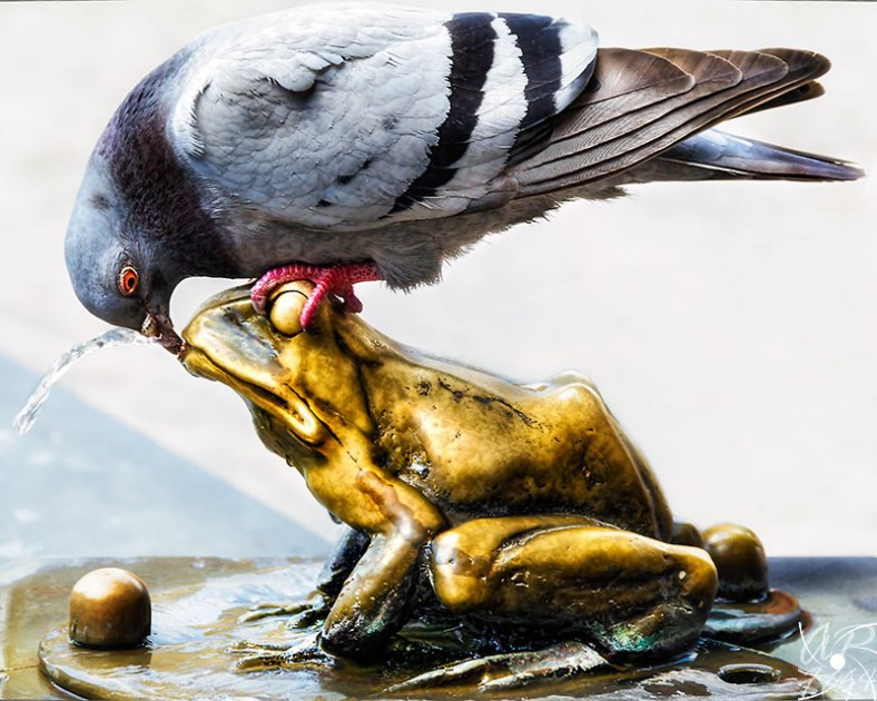 Pigeon-drinking-from-a-frog-fountain