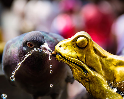 Torun-Pigeon-Drinking-From-Frog-Fountain