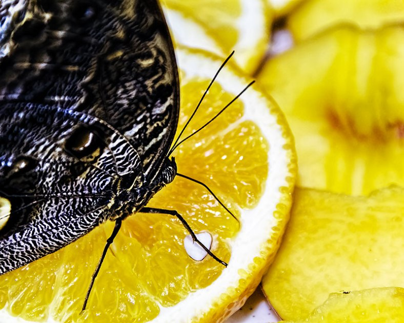 butterfly-eating-orange