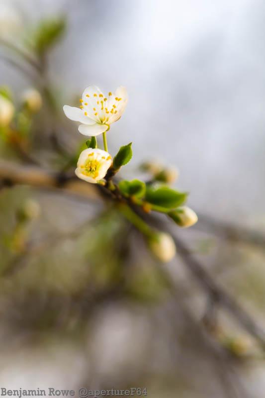 Blossoming Blossom
