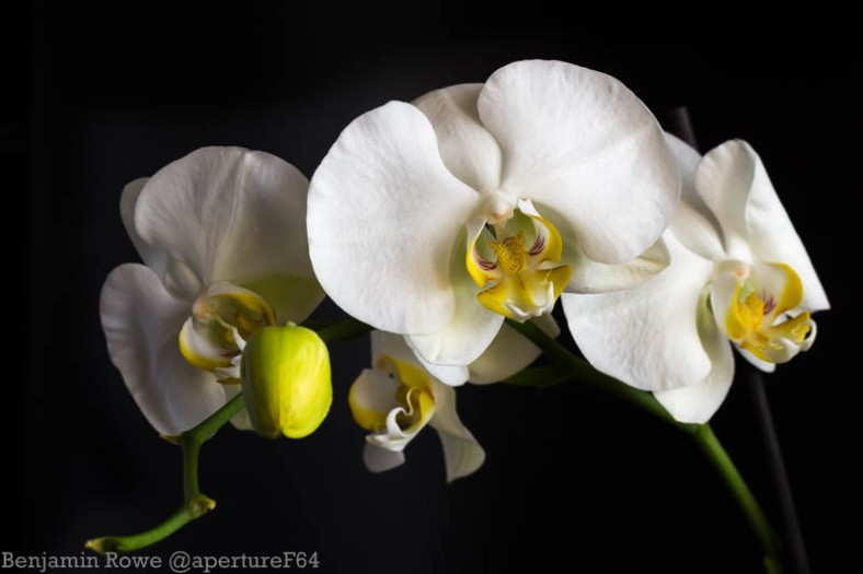 Quartet of Orchids