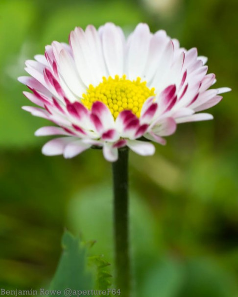Red Tipped Daisy Portait