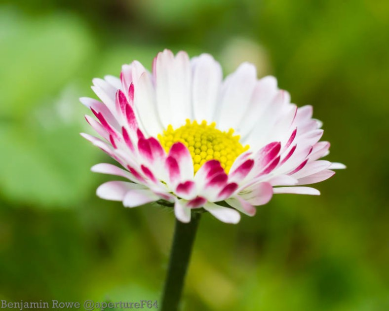 Red Tipped Daisy