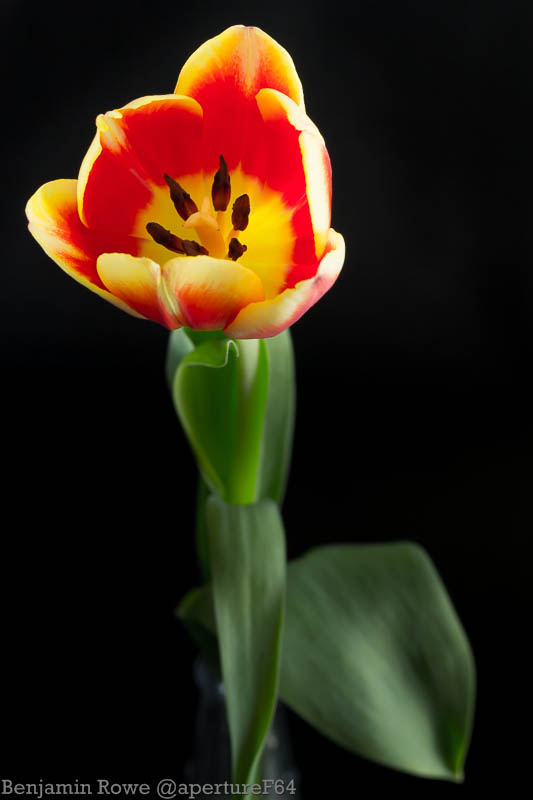 Tulip Red and Yellow-0877