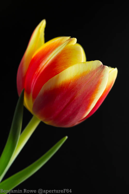 Tulip Red and Yellow-0895