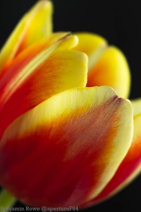 Tulip Red and Yellow-0917