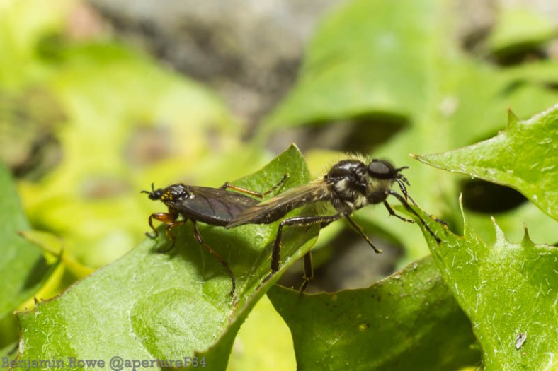 Mating insects 2