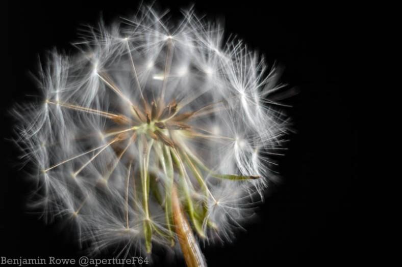 Dandelion Central Focus