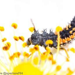 Harlequin Ladybird Larva 4