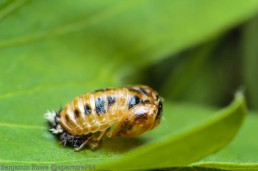 Lady Bird Pupa Shell ISO 100 50mm +65mm Extension Tube f/16 1/400 TTL flash and diffuser