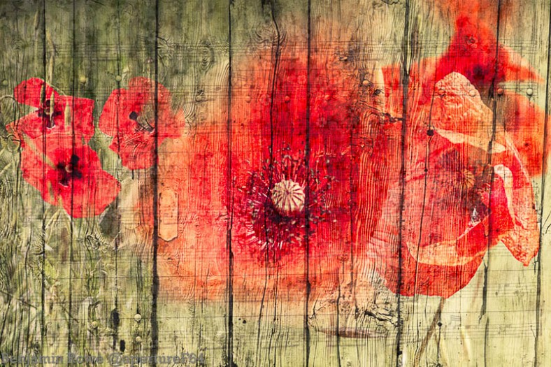 Phototangler poppies