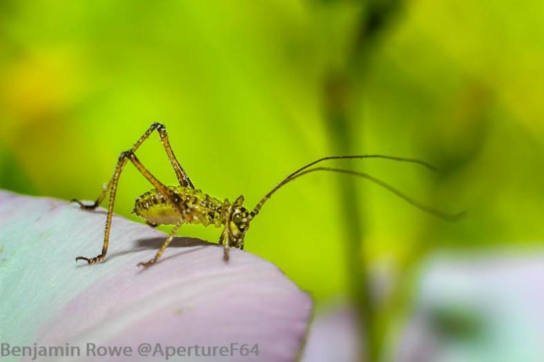 Small Green Cricket