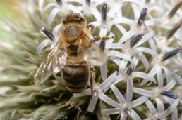 Onion Flower and Bee 3