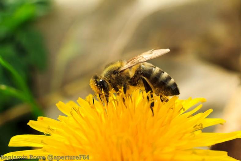 bee feeding on a dandelion