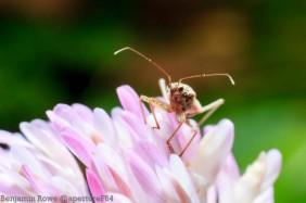 Miridae Plant Bug-4071