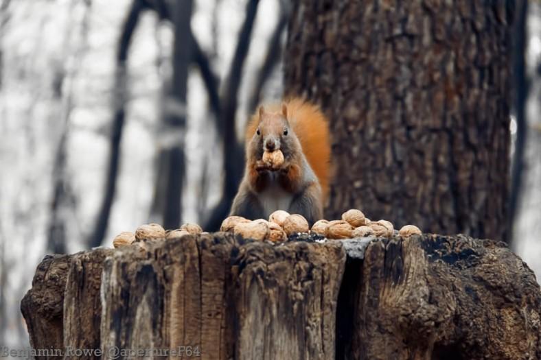 Red Squirrel Feeding Zdrowie park