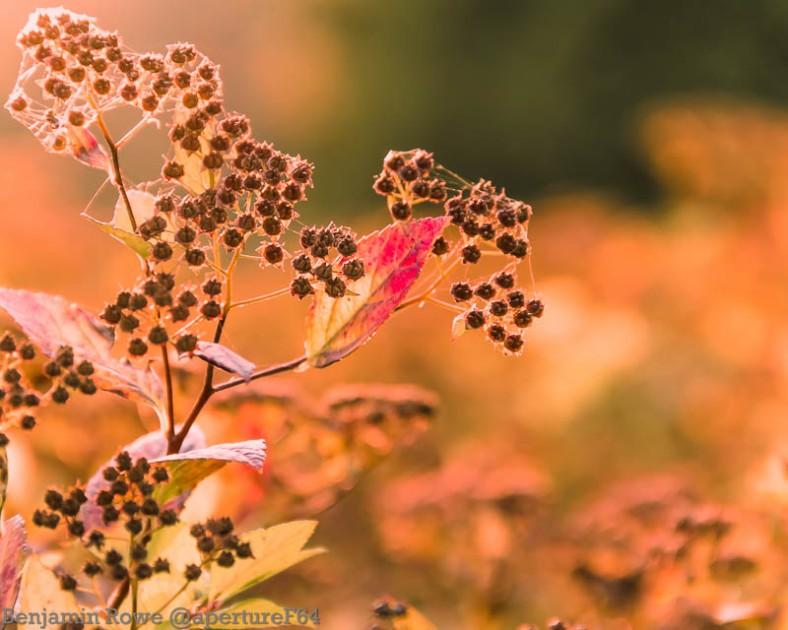 Red Leaf in Golden Light