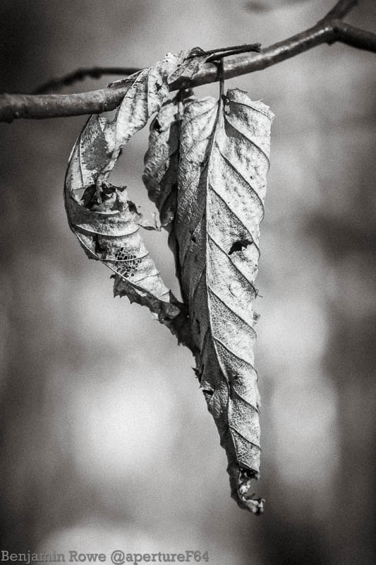 Winter Leaf Black and White